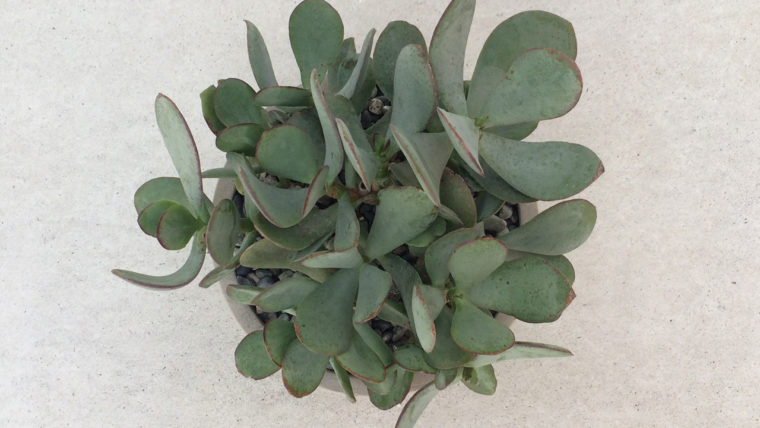 多肉植物クラッスラ属ブルーバード-インテリアグリーン