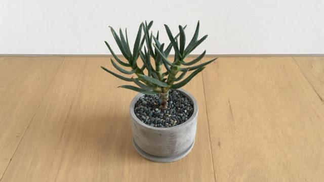 アロエラモシシマ-多肉植物-インテリアグリーン