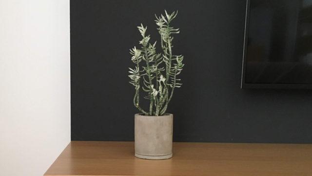 【多肉植物】 ペディランサス(大銀竜)ミルクハーモニー斑入り